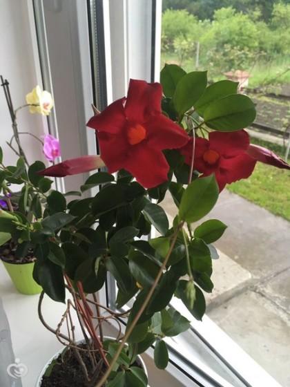 Что за цветок дипладения